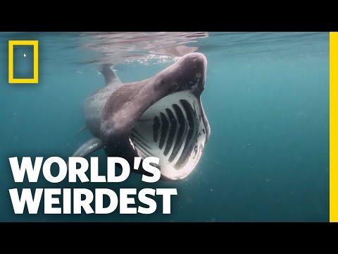 Breaching Basking Sharks | World's Weirdest