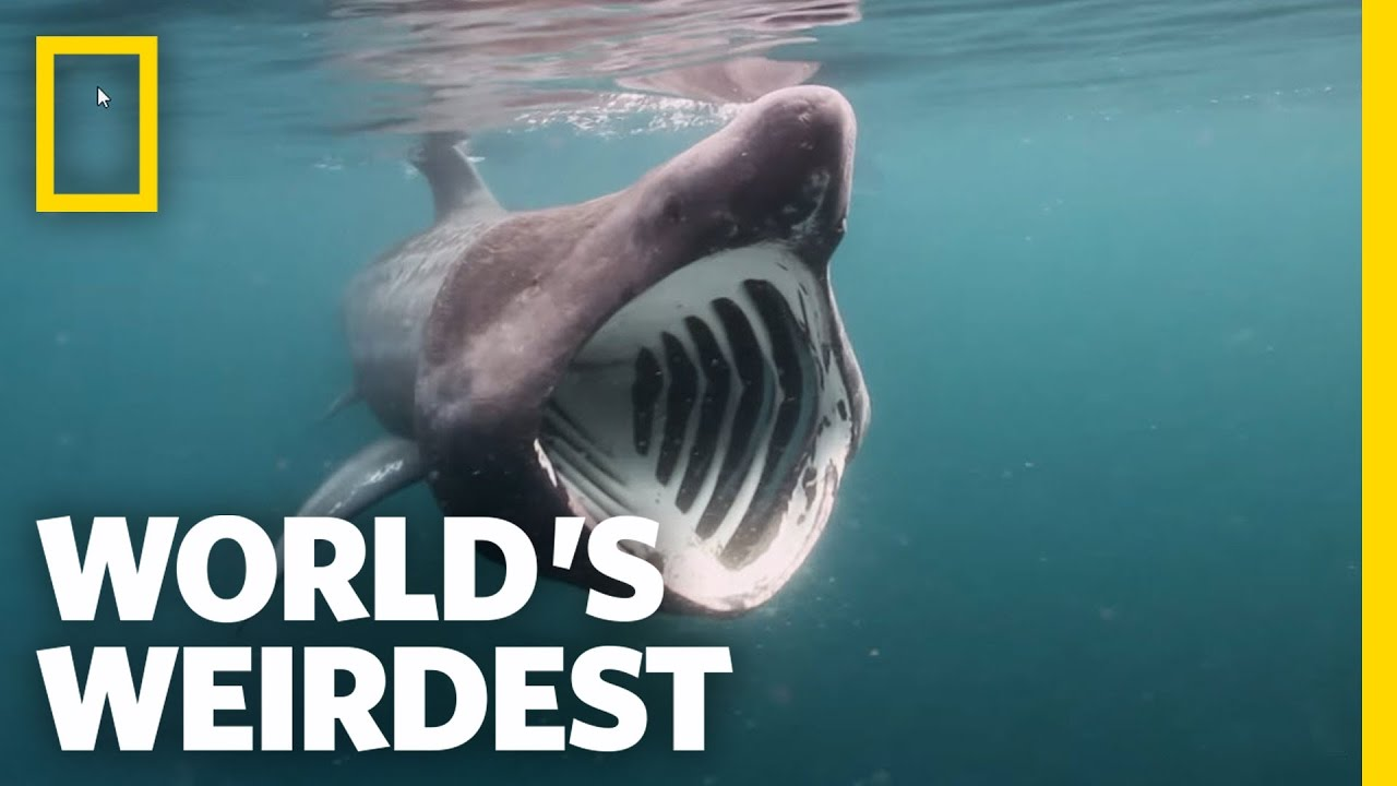 Breaching Basking Sharks | World's Weirdest - YouTube