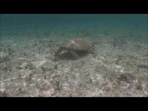 Sea Turtles Bahamas