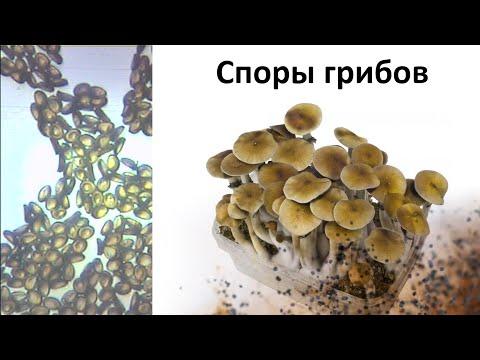 в моче мицелий и споры дрожжевых грибов в