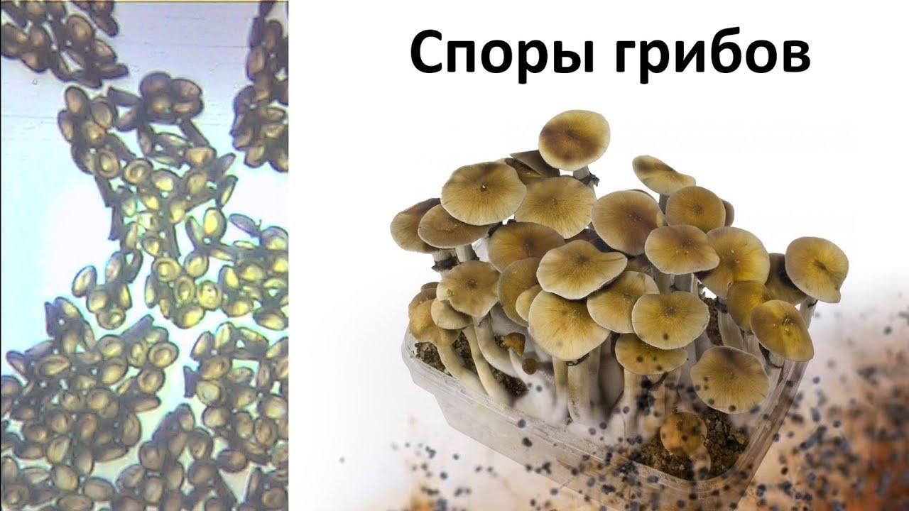 Споры грибов под микроскопом. Часть 1.