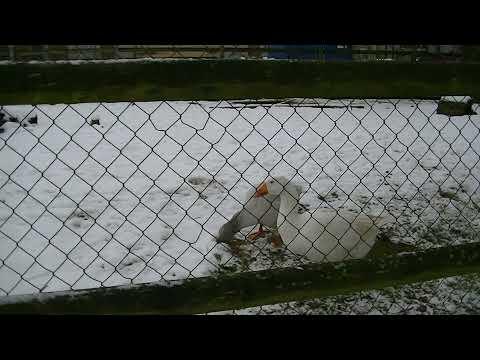 CRYPTO VALLEY CENTRE : Les canards du Sennweid !