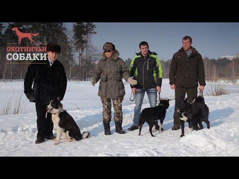 Охотничьи собаки. 15 серия. Русско-европейская лайка