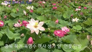 (옥천향수신문) 옥천 육영수 생가 주변 연못 연꽃 향기…