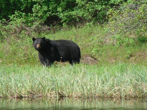 Kent Kaiser Alaska / Black Bear Hunting On Prince Of Wales Island