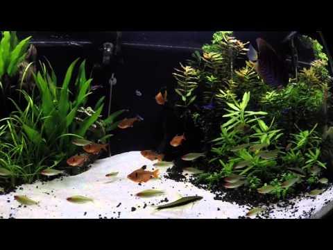 Fish Profile: Rummy-nose Tetra