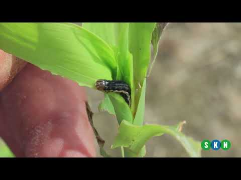 Agronomic Insights: Insect Pressures