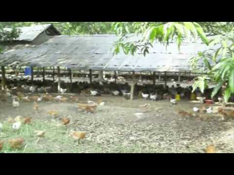 Bounty Fresh Food Inc, Colored Chicken Contract Growing