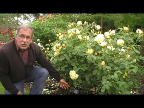 der-schnitt-englischer-rosen-als-beetrosen