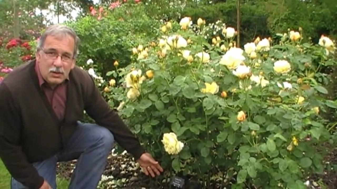 der schnitt englischer rosen als beetrosen - youtube