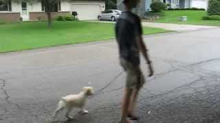 Addie's First Structured Walk | Matt Hendricks - Follow The Leader Dog Training