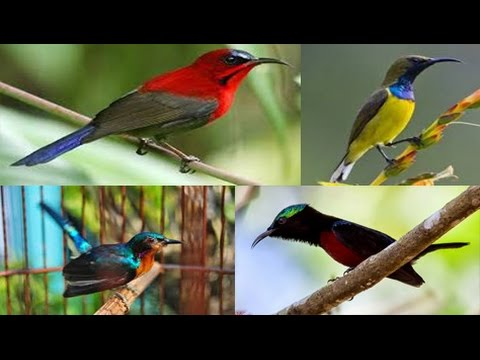 Kicau Kolibri - (Masteran Versi V Kompilasi Suara Kolibri)