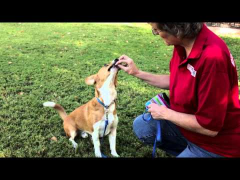 how-to-train-herding-dogs-:-dog-training-musts