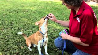 How To Train Herding Dogs  : Dog Training Musts