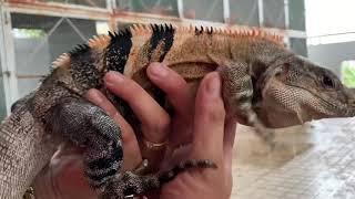 Iguana House . Hướng Dẫn Trị Da Khô , Khó Lột Spiny Tail Iguana ( spiny tail iguana skin care )