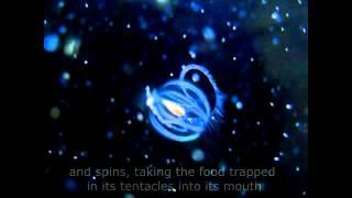 Sea Gooseberry (Pleurobrachia bachia) Feeding - Comb Jellyfish, Phylum Ctenophora
