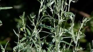 'Poisonous Plants 1-2-1' Artemisia absinthium, wormwood