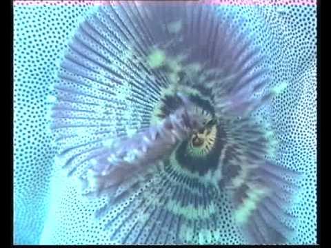 Peacock worm 1