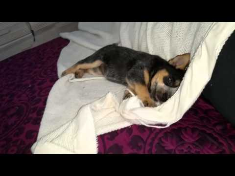 What Do Blue Heeler Puppies Act Like