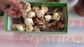 Dağlaləsi soğanaqlarının əkilməsi (Tulipa)