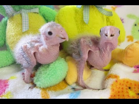 4 week old Baby White Bellied Caique Sisters