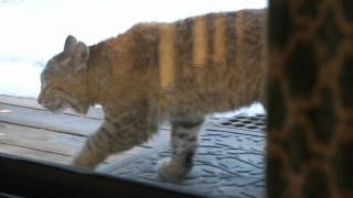 Cat vs. Bobcat