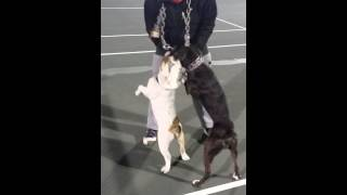 Coop Kennels Olde English Bulldogge Vs. Boxer