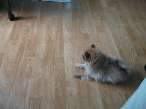My African Grey Parrot & Pomeranian Puppy Playing