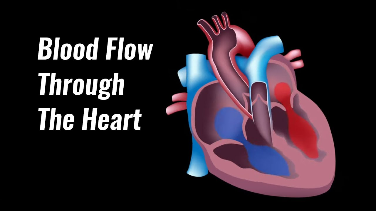 Blood Flow Through The Heart Explained - YouTube