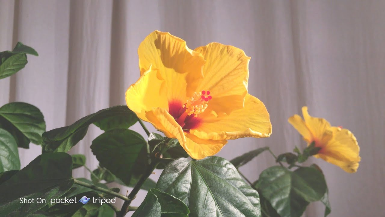 Flower Bloom Timelapse On Iphone 6 Shot On A Pocket Tripod With