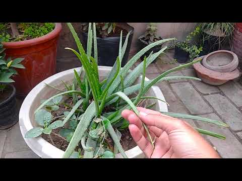 How to Grow Aloe Vera Plant Perfectly 20-August-2019 ( Part-5) Last