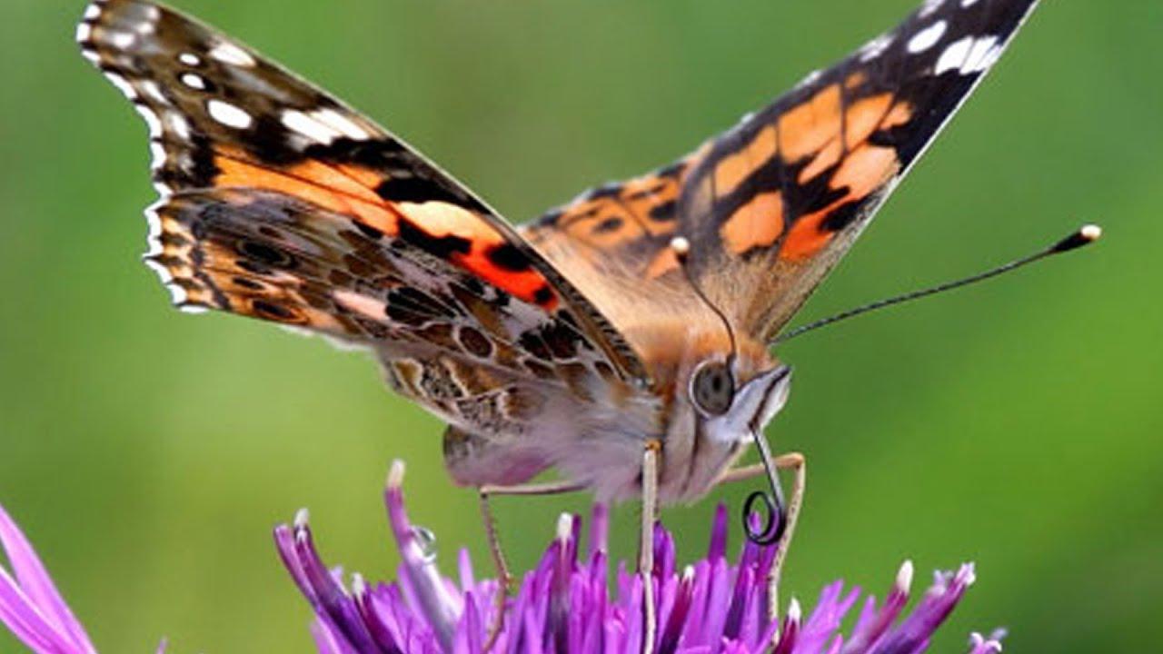 Le farfalle mangiano con i piedi youtube for Sfondi con farfalle