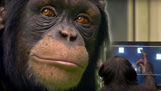 Chimp vs human! - Working Memory test - Extraordinary Animals - Earth