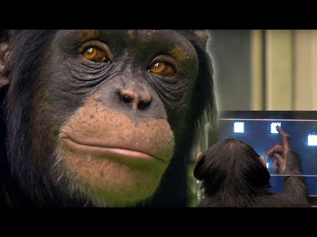 This chimp is a ninja warrior-Video
