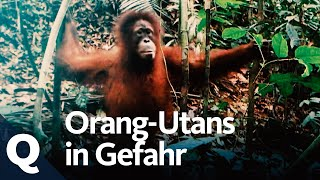 Wie der Anbau von Palmöl den Orang-Utan bedroht (Ganze Doku)   Quarks