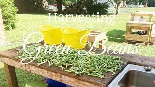 HD Harvesting Green Beans (Snap Beans)