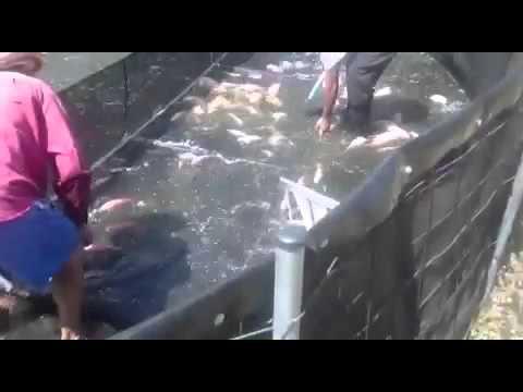 piscicultura intensiva de tilapia en granja mama lombriz