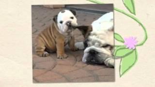 French Bulldog Potty Training