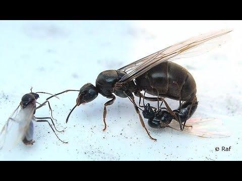 Спаривание матки Myrmica SP в домашних условиях! Ants Life 🐜4