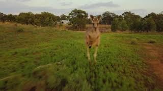 Kangaroo's chasing drone compilation