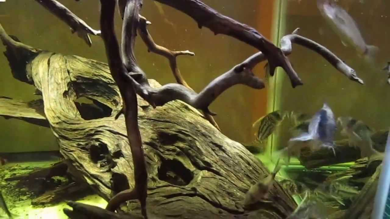 An Amazon Biotope Paradise For Corydoras!!!!!!!!!