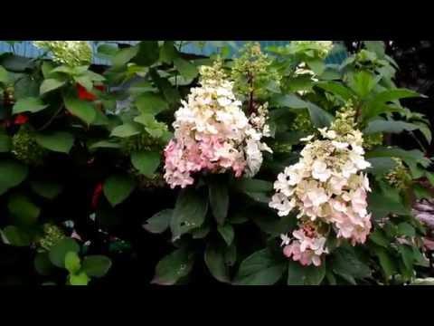 ✿➽ Гортензия метельчатая Пинки Винки (Pinky Winky) в нашем саду
