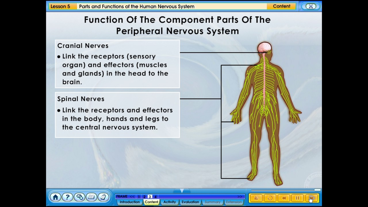 5 Parts And Functions Of The Human Nervous System Youtube