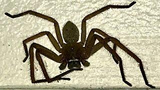 Huntsman Spider Dyson V8 Ants …