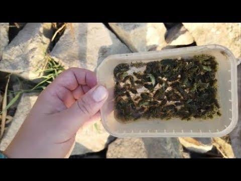 Личинка стрекозы. Как добывают.