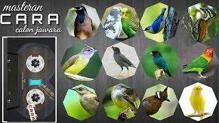 CARA MP3 : Masteran burung kontes standar nasional!! Semua jenis kicauwan!! Terbukti bukan janji!!!