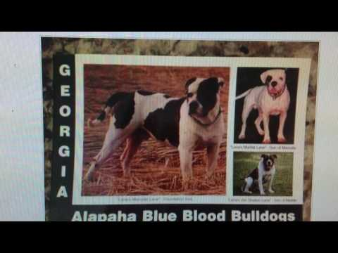 ORIGINAL BREED OF ALAPAHA BLUE BLOOD BULLDOGS