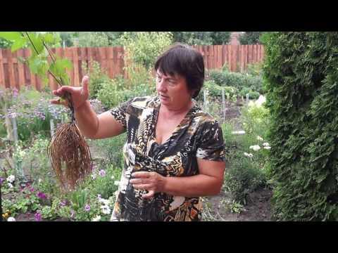 Как рассадить клематис делением куста