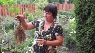 Клематис,как размножить делением куста.Размножаем клематис делением корней.