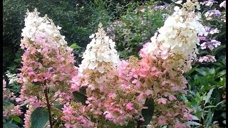 Hydrangea paniculata 'Pinky Winky' video